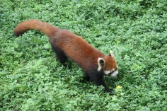 Chongqing zoo, red panda