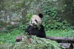 panda in chongqing zoo