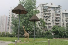 Giraffe at the edge of Chongqing zoo